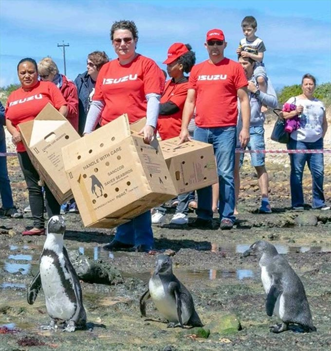 Isuzu volunteers assist with the release of penguins at Cape Recife on African Penguin Awareness Day which was held on Saturday, 13 October. From left are Esterline Martin, Tanya van Rensburg, Vuyiseka Skepe and Romeo Koeberg, while members of the public witnessed the release.