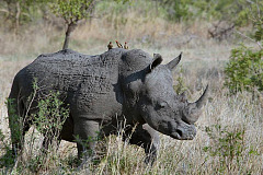 Bad economics is killing rhino